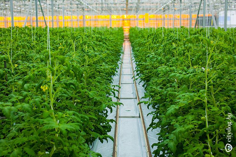 Род теплицы для выращивания овощей плодов и ранней зелени 81